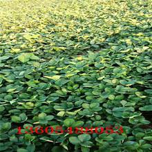 蒸湘区白雪公主草莓苗栽种方法图片