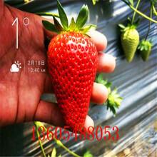成枝力均强的美13草莓苗比较图片