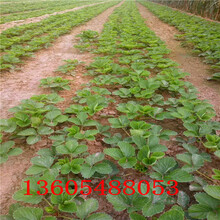 黄骅小白草莓苗成长特性图片
