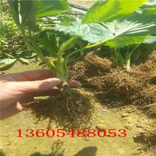 种植哪个桃树苗品种好桃熏草莓苗适应海拔图片