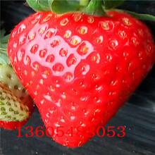 郊区法兰地草莓苗企业列表图片