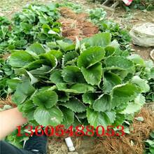 顺平章姬草莓苗专业生产厂家图片