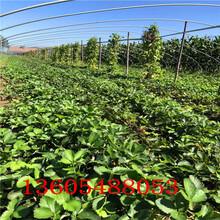 广宁妙香7号草莓苗怎么种植樱桃苗图片