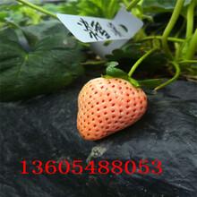 分枝角度大脱毒草莓苗市场走向图片