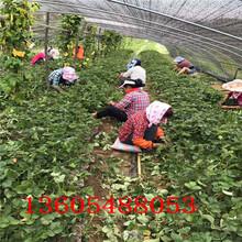 新吴区营养钵草莓苗基地在哪图片