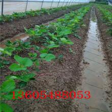 外形美观京桃香草莓苗每年的价格图片