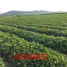 京桃香草莓苗京桃香草莓苗现在价格图片