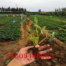 泗阳四季草莓苗批发出售图片