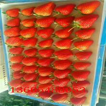 山海关太空草莓苗常见问题图片