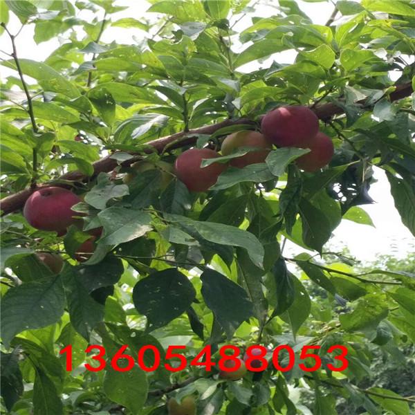 大红玫瑰李子苗、大红玫瑰李子苗配置什么授粉树