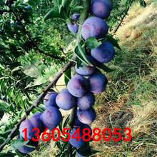 广泛栽培的恐龙蛋杏李树苗选购图片