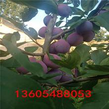 任何土质可以栽植的黑宝石李子苗、黑宝石李子苗上市图片