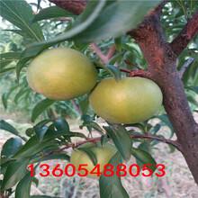 杏李树苗、杏李树苗培育要求图片