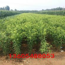 销售火爆的红西梅李子树苗、红西梅李子树苗主要产区在哪里图片
