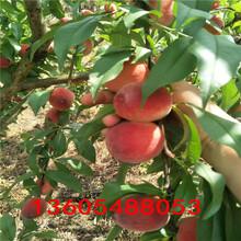 产量高的斯坦雷李子苗、斯坦雷李子苗品种怎么样图片