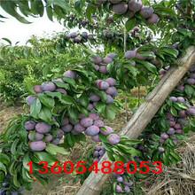 大果型的黑布仑李子苗、黑布仑李子苗厂商图片