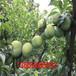 產量高的味馨李子苗、味馨李子苗實拍圖片