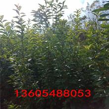 黑宝石李子树苗生产厂家、黑宝石李子树苗如何询价图片