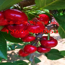 大果樱桃苗分类及外形特征、大果樱桃苗超丰产品种