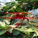 黃蜜櫻桃苗種植基地、種植基地零售價