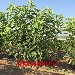 銷售火爆的瑪瑙紅櫻桃苗、瑪瑙紅櫻桃苗出土價格