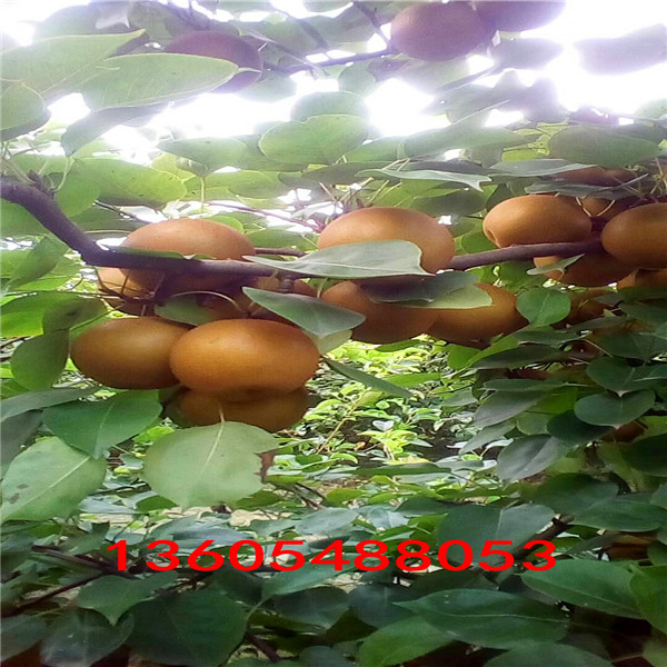 鲁蜜梨树苗、鲁蜜梨树苗行业分析