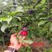 受歡迎的半邊紅李子苗、半邊紅李子苗栽植技術