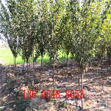品质极优美国杏李树苗、美国杏李树苗主产区价格图片