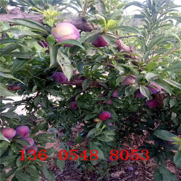 味馨杏李树苗点击查看、味馨杏李树苗单棵零售价格