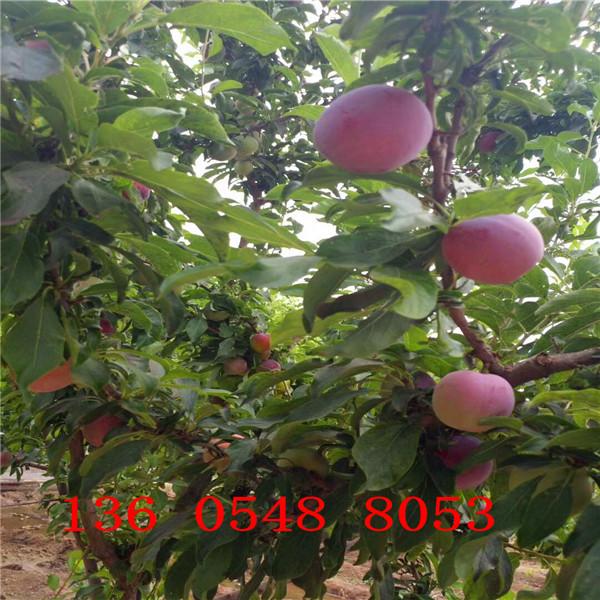 风味玫瑰杏李树苗首选、风味玫瑰杏李树苗主要修剪注意事项