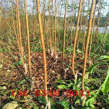 任何土质可以栽植的味馨李子苗报价一览表图片