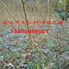 新鲜红嫩的斯坦勒西梅李子苗、斯坦勒西梅李子苗栽植要求图片