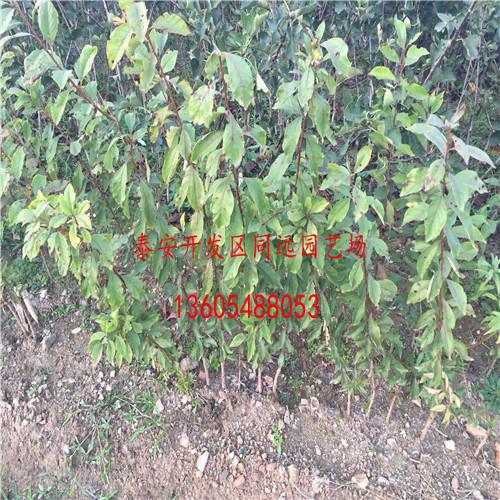 黑宝石李子树苗致富的领先者、黑宝石李子树苗成活率高