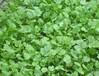 香菜用諾普琳葉菜專用葉面肥才能提質增產,促根壯苗!