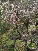 苏州庭院别墅绿化、景观庭院工程、庭院别墅绿化设计施工、梅花树,苏州绿化苗木图片