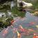 观赏鱼池水处理