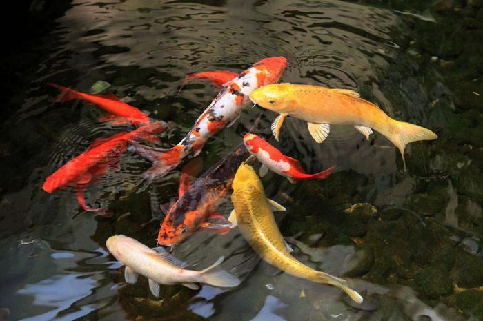 許昌杰蒙尼錦鯉魚池水生植物過濾
