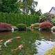 锦鲤鱼池水净化图