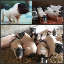 藏香豬養殖加盟回收.藏香豬養殖場藏香豬的養殖方法圖片