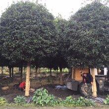 四川苗圃基地供应米径8-15公分高分枝桂花四川桂花价格