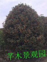 工程苗木丛生地笼桂花地径12-13公分高3-3.5米价格