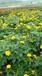 孔雀草批发价四川孔雀草基地15公分孔雀草价格工程用草花