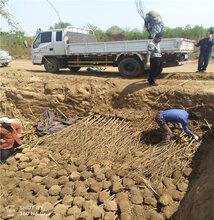 突尼斯软籽石榴哪个品种好山东软籽石榴树苗出售图片