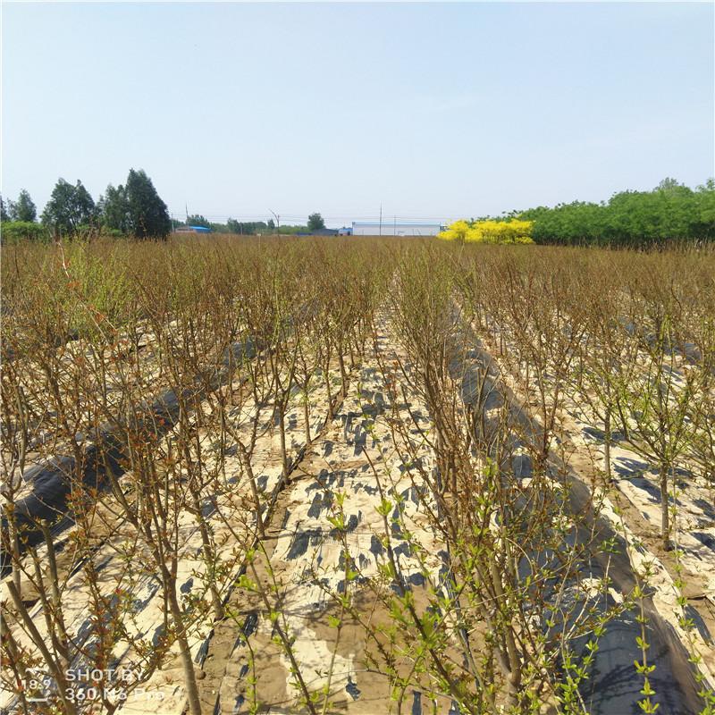突尼斯软籽石榴哪个品种好 山东软籽石榴树苗出售