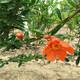 突尼斯软籽石榴哪个品种好山东软籽石榴树苗出售产品图