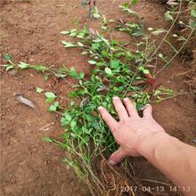 苗圃出售扶芳藤种植基地银庄农业图片