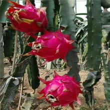 火龙果树苗怎么种植火龙果苗基地直销图片