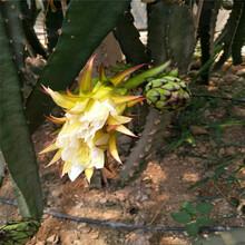 红火龙果苗哪一种北方种红心火龙果苗成活率高图片