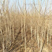 杜仲基地杜仲树苗种植技术图片