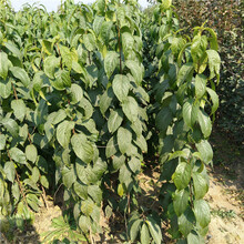 杜仲小苗种植技术各种规格杜仲苗好价低图片